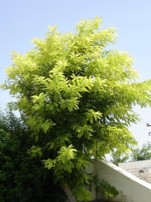 Trnovník akát 'Frisia' - Robinia pseudoacacia 'Frisia'