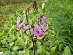 Boží květ zahradní 'Rote Farben' - Dodecatheon meadia 'Rote Farben'