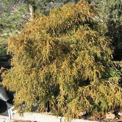 Cypřišek hrachonosný 'Filifera Nana' - Chamaecyparis pisifera 'Filifera Nana'