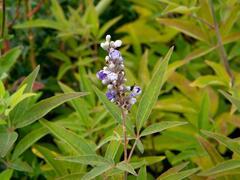 Drnek obecný 'Latifolia' - Vitex agnus castus 'Latifolia'