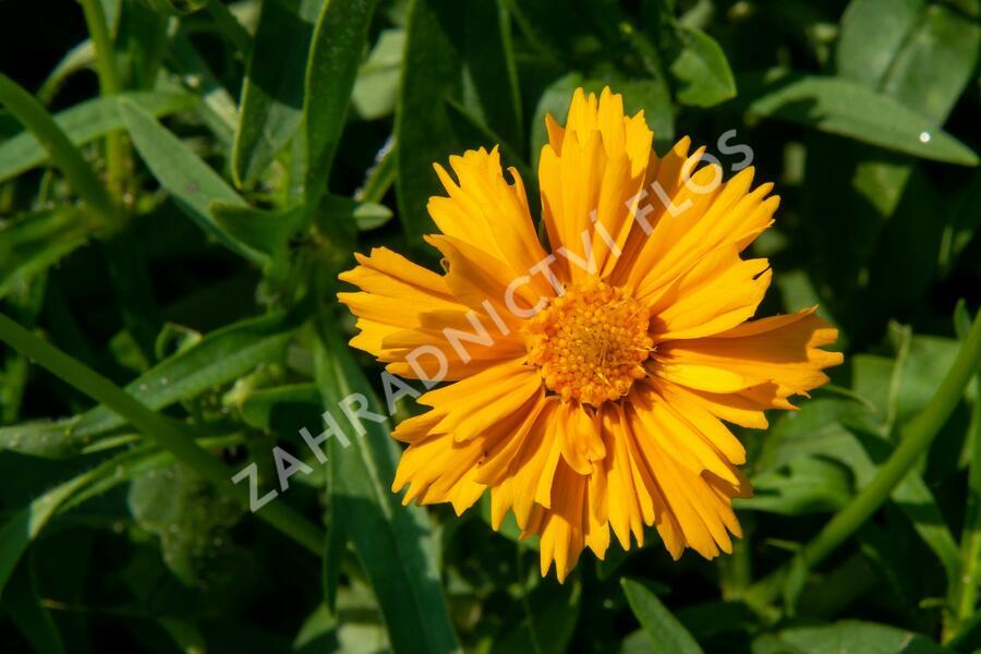 Krásnoočko velkokvěté 'Santa Fe' - Coreopsis grandiflora 'Santa Fe'