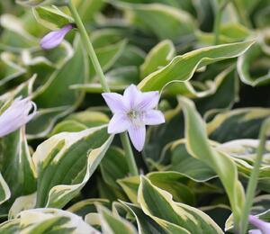 Bohyška 'Austin Dickinson' - Hosta 'Austin Dickinson'