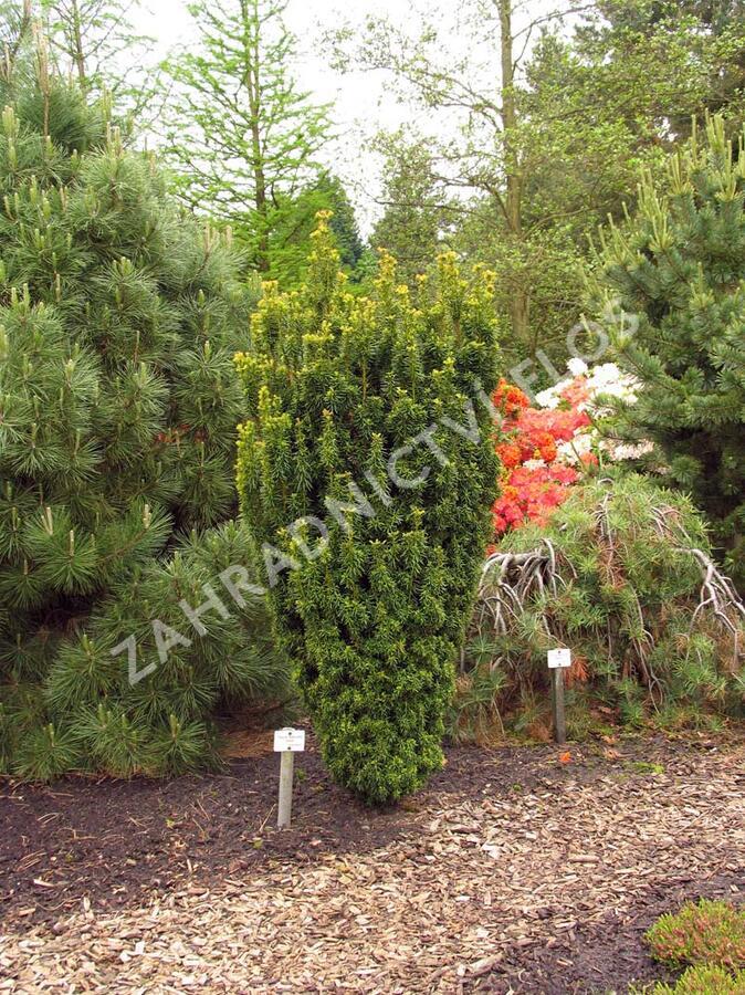Tis červený 'David' - Taxus baccata 'David'