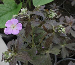 Kakost skvrnitý 'Elizabeth Ann' - Geranium maculatum 'Elizabeth Ann'