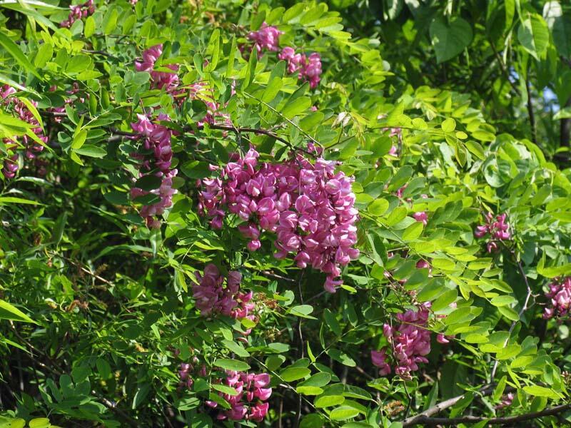 Trnovník akát 'Casque Rouge' - Robinia pseudoacacia 'Casque Rouge'