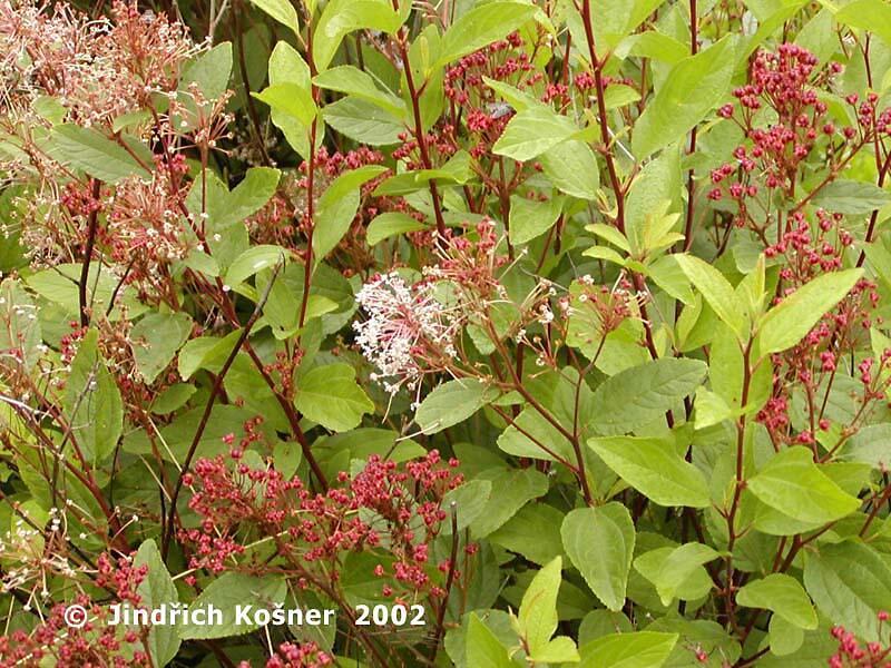 Latnatec 'Marie Simon' - Ceanothus pallidus 'Marie Simon'