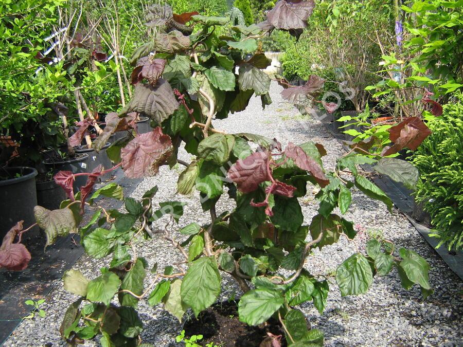 Líska obecná 'Red Majestic' - Corylus avellana 'Red Majestic'