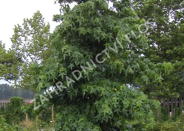 Ambroň západní 'Worplesdon' - Liquidambar styraciflua 'Worplesdon'