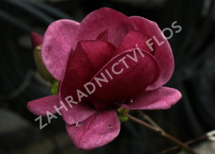 Šácholan 'Genie' - Magnolia 'Genie'