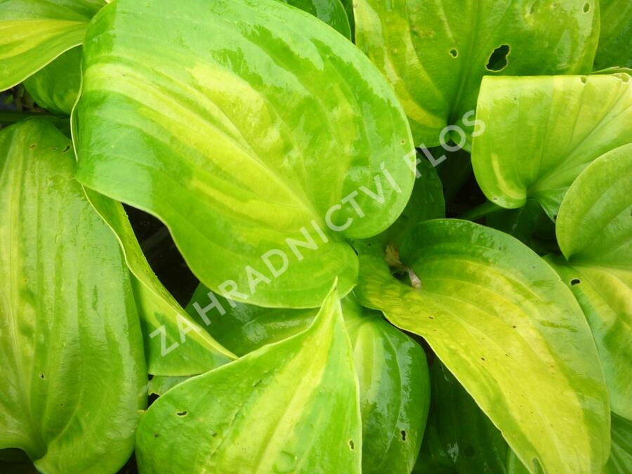 Bohyška 'Avocado' - Hosta 'Avocado'