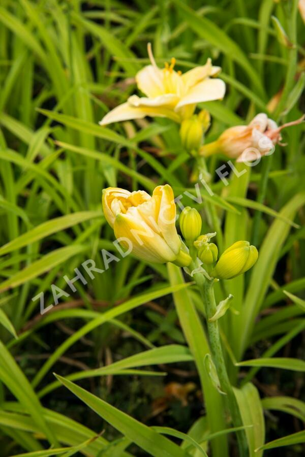 Denivka 'Tequila and Lime' - Hemerocallis 'Tequila and Lime'