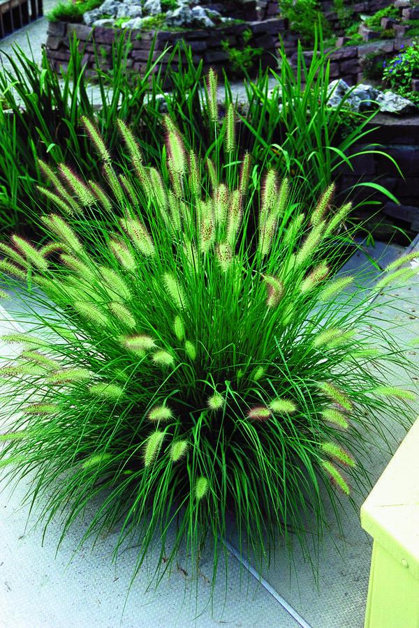 Dochan psárkovitý - Pennisetum alopecuroides