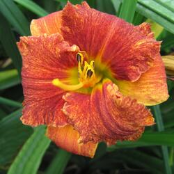 Denivka 'Spacecoast Freaky Tiki' - Hemerocallis 'Spacecoast Freaky Tiki'
