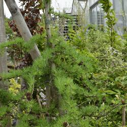 Modřín japonský 'Diana' - Larix kaempferi 'Diana'