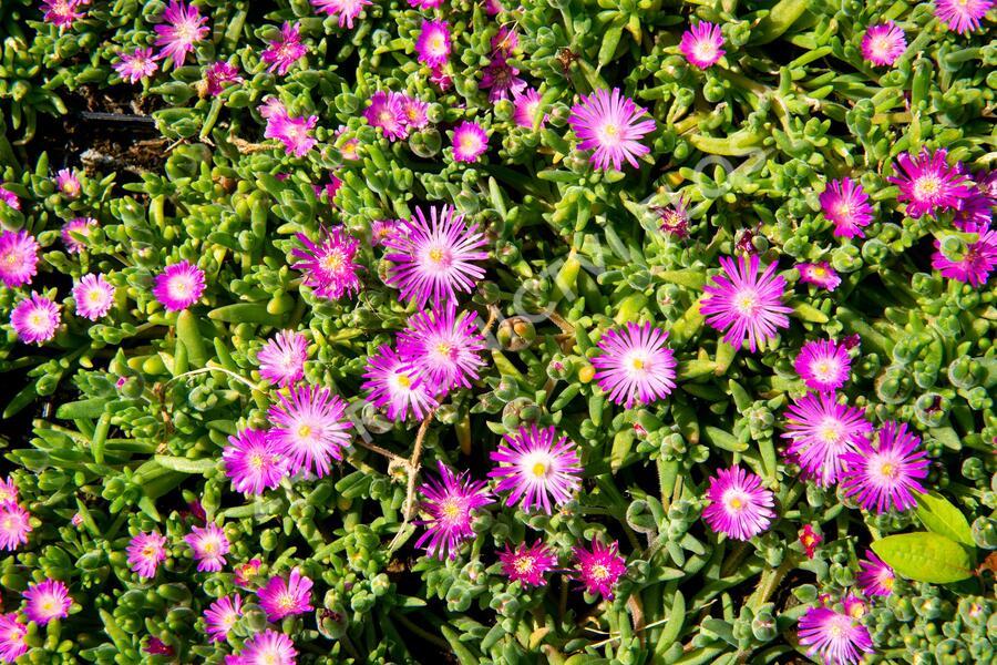 Kosmatec - Delosperma hispida