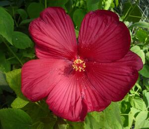 Ibišek bahenní 'Red' - Hibiscus moscheutos 'Red'
