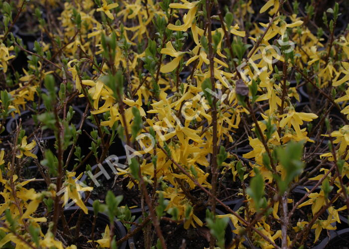 Zlatice prostřední 'Lynwood' - Forsythia intermedia 'Lynwood'