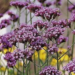 Verbena, sporýš argentinský 'Violetta' - Verbena bonariensis 'Violetta'