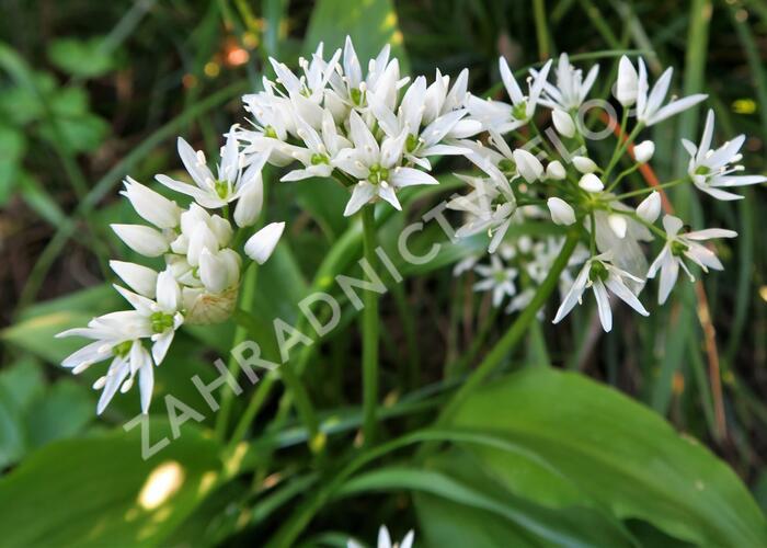 Česnek medvědí - Allium ursinum