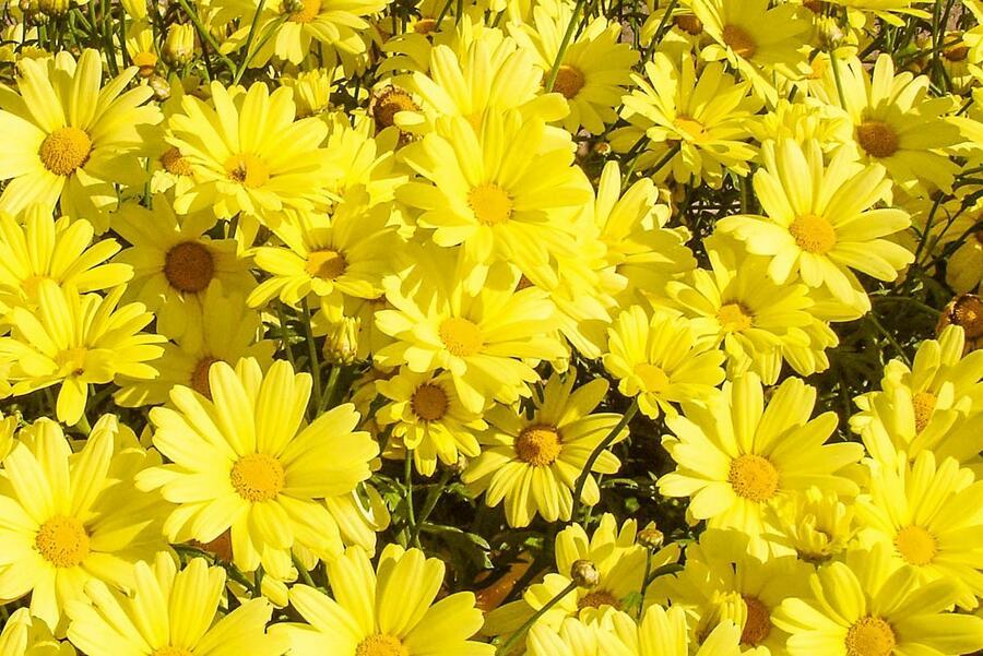 Kopretina pařížská 'Aramis Yellow' - Argyranthemum frutescens 'Aramis Yellow'