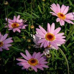 Kopretina pařížská 'Aramis Pink Eye' - Argyranthemum frutescens 'Aramis Pink Eye'