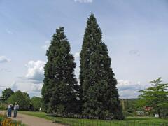 Sekvojovec obrovský - Sequoiadendron giganteum