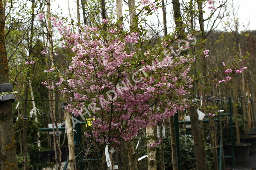Višeň chloupkatá 'Fukubana' - Prunus subhirtella 'Fukubana'