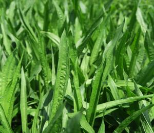 Jitrocel kopinatý - Plantago lanceolata