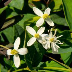 Plamének přímý 'Purpurea' - Clematis recta 'Purpurea'