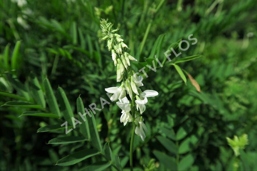 Jestřabina lékařská - Galega officinalis