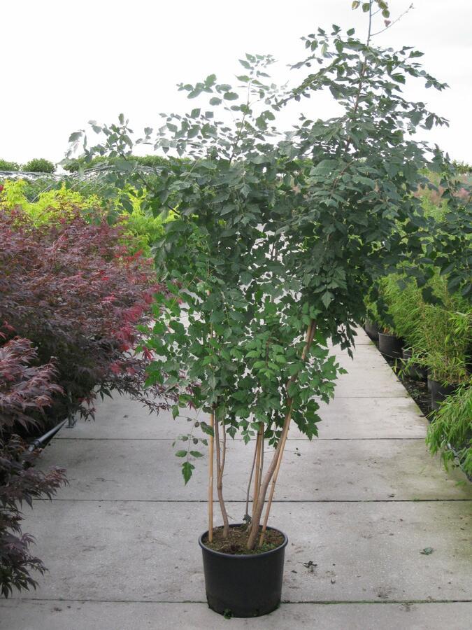 Svitel latnatý - Koelreuteria paniculata
