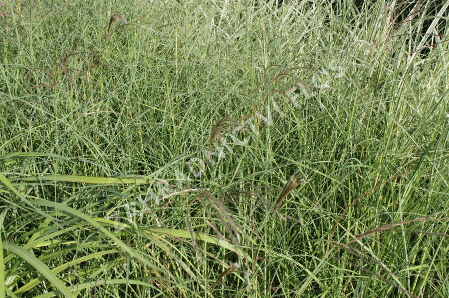 Ozdobnice čínská 'Silberspinne' - Miscanthus sinensis 'Silberspinne'