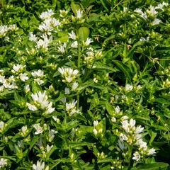 Zvonek klubkatý 'Bellefleur White' - Campanula glomerata 'Bellefleur White'