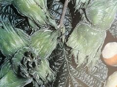 Líska obecná 'Hallská obrovská' - Corylus avellana 'Hallská obrovská'