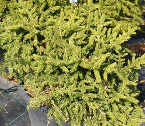 Smrk ztepilý 'Pumila Nigra' - Picea abies 'Pumila Nigra'