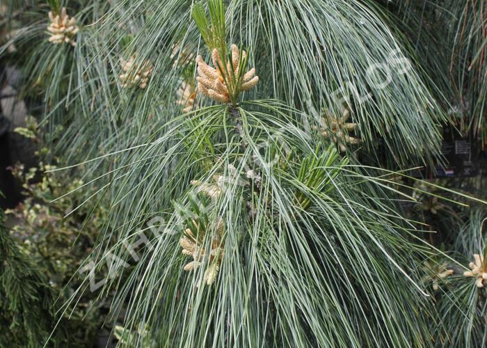 Borovice Schwerinova - Pinus schwerinii