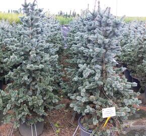 Smrk pichlavý 'Oldenburg' - Picea pungens 'Oldenburg'