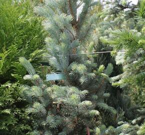 Smrk pichlavý 'Iseli Fastigiate' - Picea pungens 'Iseli Fastigiate'