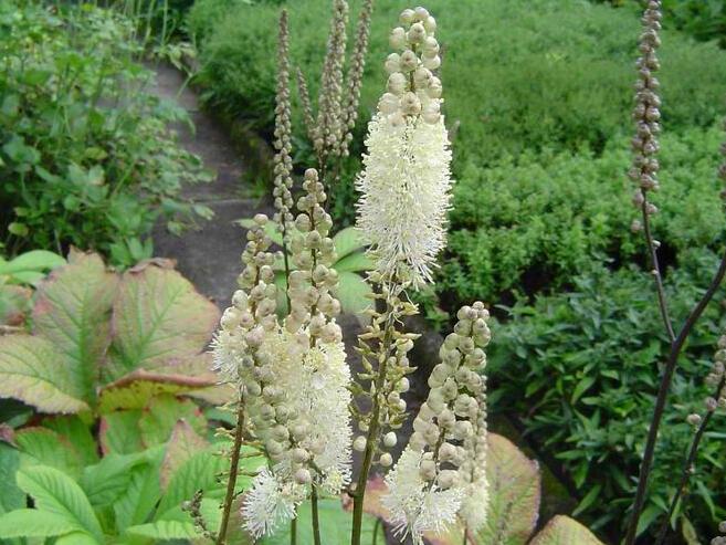 Ploštičník hroznovitý - Cimicifuga racemosa var. cordifolia