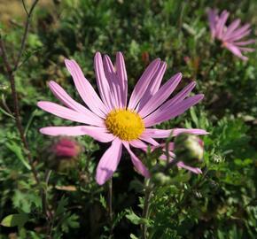 Listopadka 'Clara Curtis' - Dendranthema rubellum 'Clara Curtis'