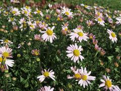 Listopadka arktická 'Roseum' - Dendranthema arcticum 'Roseum'