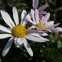 Listopadka arktická - Dendranthema arcticum