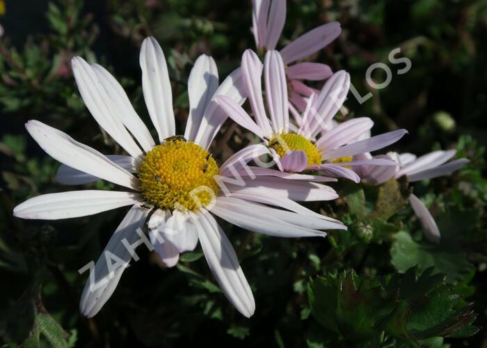 Kopretina arktická - Dendranthema arcticum