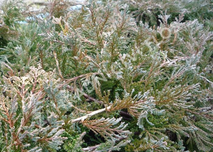 Jalovec polehlý 'Wiltonii' - Juniperus horizontalis 'Wiltonii'