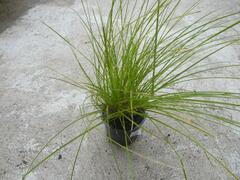 Ostřice latnatá - Carex paniculata