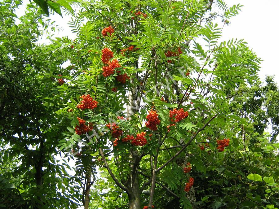 Jeřáb obecný 'Edulis' - Sorbus aucuparia 'Edulis'