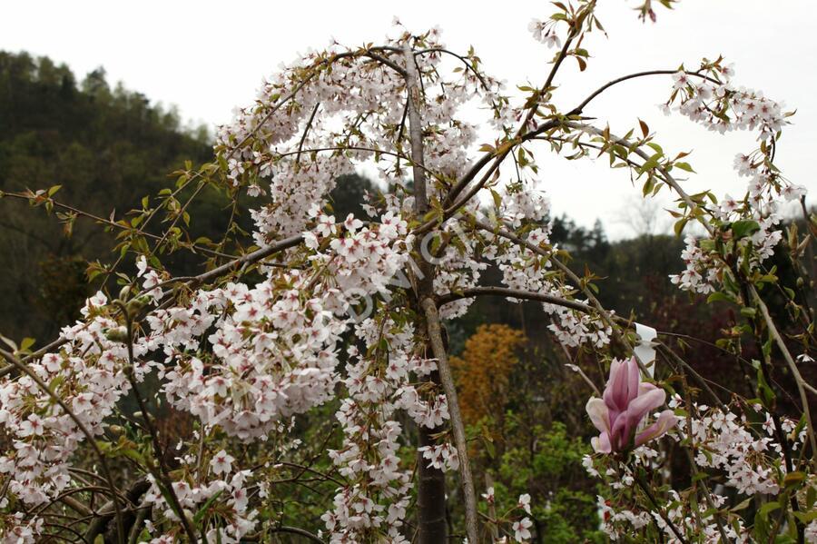 Višeň chloupkatá 'Pendula' - Prunus subhirtella 'Pendula'