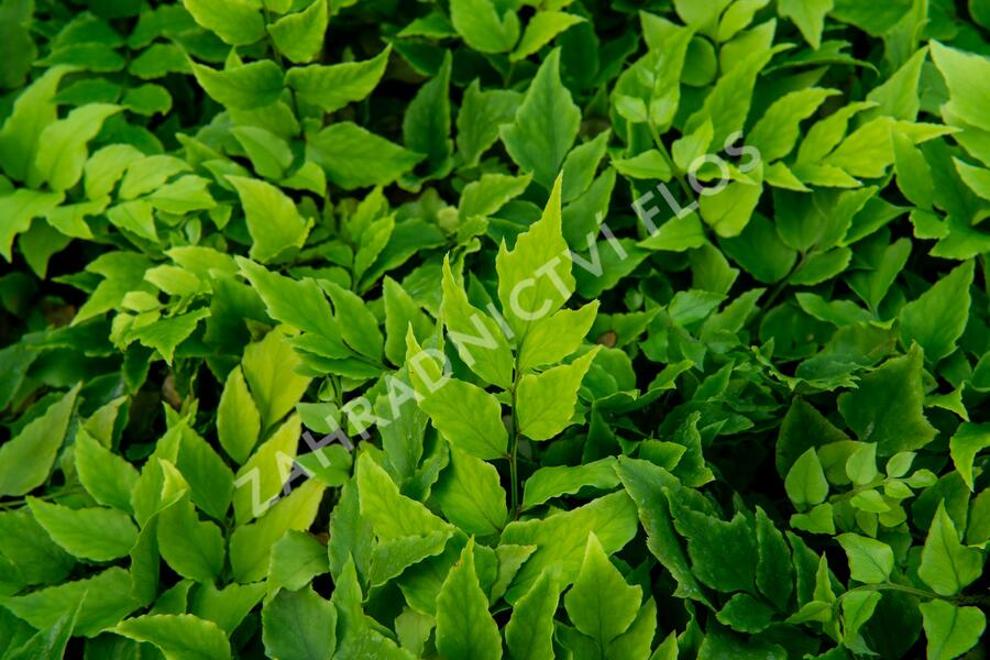 Srpovice japonská - Cyrtomium fortunei