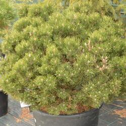 Borovice lesní 'Compacta' - Pinus sylvestris 'Compacta'