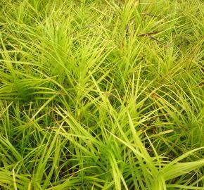 Ostřice muskingumská - Carex muskingumensis